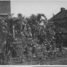 Photo:Roses in the front garden of the Newell residence at 1, Langdon Walk, 1940's
