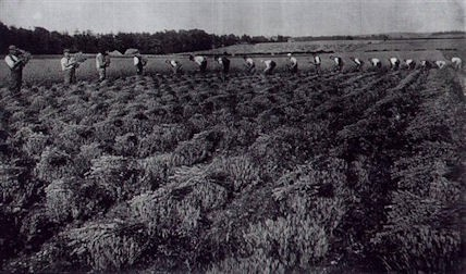 Photo:Harvesting lavender