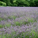 Photo:'Mayfield' Lavender Field (Aug 2010}